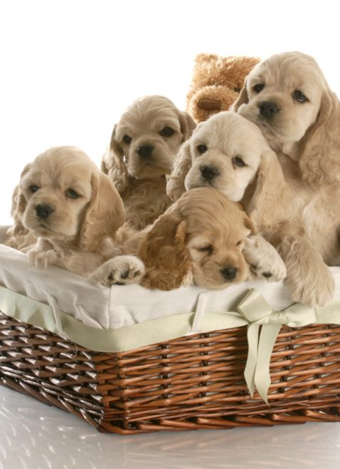litter of Cocker Spaniel puppies. Approved by Vanessa Skou July 2018. 147312309